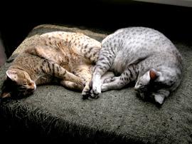 Kitties_mirror_4
